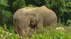 Asian Elephant (Elephas maximus) pair Stock Footage