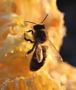 bees preen - stock photo
