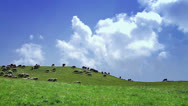 Stock Video Footage of Flock of sheep in a green meadow