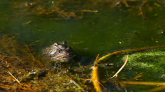 The Common frog, Rana temporaria, mating Stock Footage