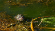 Stock Video Footage of The Common frog, Rana temporaria, mating