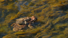 Common toads mating Stock Footage