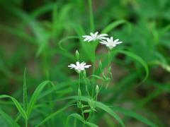 chickweed flowers - stock photo