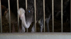 Ostriches behind bars Stock Footage