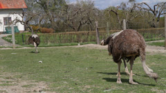 Ostriches in a farm Stock Footage