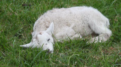 Lamb struggling to survive Stock Footage