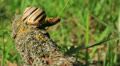 Snail on a branch. Close up. Time lapse Footage