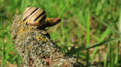 Snail on a branch. Close up. Time lapse Stock Footage