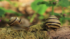 Meeting of two snails. Close up. Time lapse Stock Footage