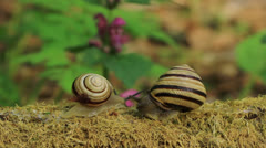 Two snails. Close up. Time lapse Stock Footage