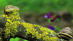 Two snails on a branch. Close up. Time lapse Stock Footage