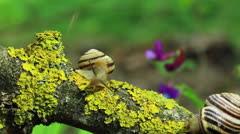 Two snails on a yellow branch. Close up. Time lapse Stock Footage
