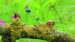 Snail creeps on a branch. Close up. Time lapse Stock Footage