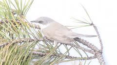 Eurasian whitethroat  stood on a pine branch, on a wind Stock Footage