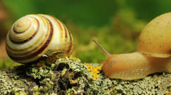 Two snails on a branch. Macro. Time lapse Stock Footage