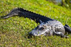 alligator - stock photo