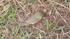 Successful hunting of willow warbler. eats a butterfly Stock Footage
