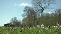 Fritillaria meleagris swe Kungsangslilja 3 HD Stock Footage