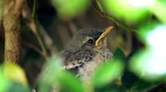 Close up sleepy baby mocking bird chick Stock Footage