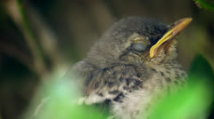 Close up sleepy baby mocking bird chick 2 Stock Footage