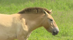 Sleepy Przewalski's horse (Equus ferus przewalskii) - stock footage
