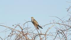 Common Cuckoo singing / Cuculus canorus ( European Cuckoo) Stock Footage