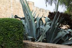 agave in jerusalem - stock photo