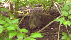 Wild boar in shrubs and mud (sus scrofa) on camera + runs away - zoom out - stock footage