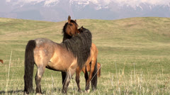 Horses Love HD Stock Footage