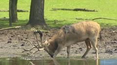 Pere David's Deer (Elaphurus davidianus) in rut scrubs antlers in mud Stock Footage
