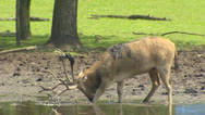 Stock Video Footage of Pere David's Deer (Elaphurus davidianus) in rut scrubs antlers in mud