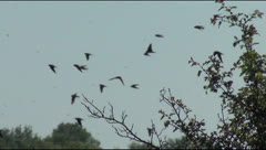 Above the tree swallows, birds, sky, spring, tree, river, field Stock Footage