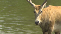 Stock Video Footage of Swamp with Pere David's Deer (Elaphurus davidianus) in mud, steps ashore