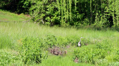 Great blue heron in tall grass Stock Footage