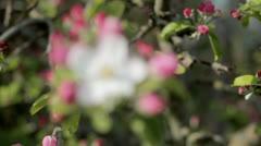 Apple Blossom Stock Footage