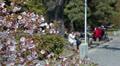People resting under sakura tree in Kyoto, Japan HD Footage