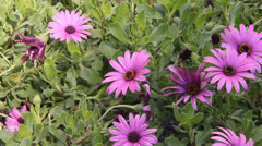 Gerbers (Daisies) on the flower bed Stock Footage