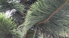 Ancient plant - Araucaria  pine Stock Footage