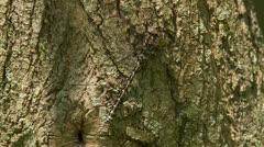 Harlequin Darner (Gomphaeschna furcillata) Dragonfly - Female 3 Stock Footage