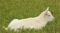 Small white goat grazing on a meadow Stock Footage
