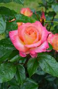 Pink rose and raindrops Stock Photos