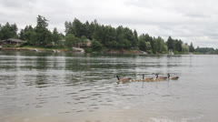 Canada Geese and Baby Goslings along Willamette River Spring Season Stock Footage
