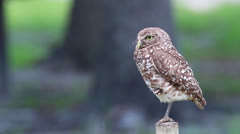 An alert Burrowing Owl Stock Footage