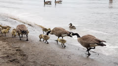 Canada Geese and Goslings on Sandy Beach Spring Season 1920x1080 Stock Footage