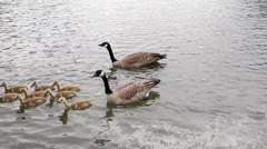 Canada Geese and Goslings Swimming along Banks of Willamette River 1080p - stock footage