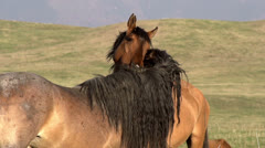 Horses Tenderness HD Stock Footage