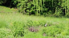 Great blue heron in tall grass 2 Stock Footage