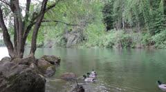 Mallard Ducks in Water along Banks of Willamette River Spring Season Stock Footage