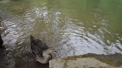Female Mallard Duck Bathing and Washing itself in Water Spring Season 1080p Stock Footage