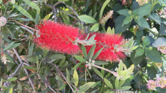 Callistemon flowers. This flower is also called bottlebrush Stock Footage